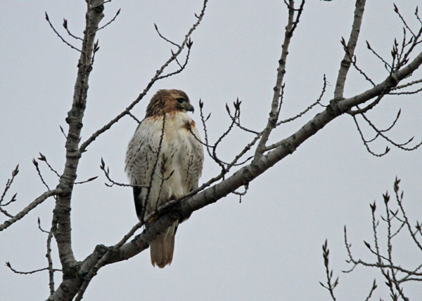 Red-tailed Hawk at the Horicon Marsh