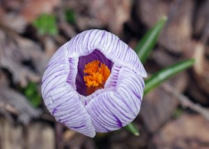 Crocus Blossom at the Horicon Marsh