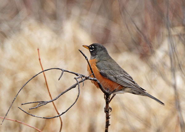 Female American Robin at the Horicon Marsh
