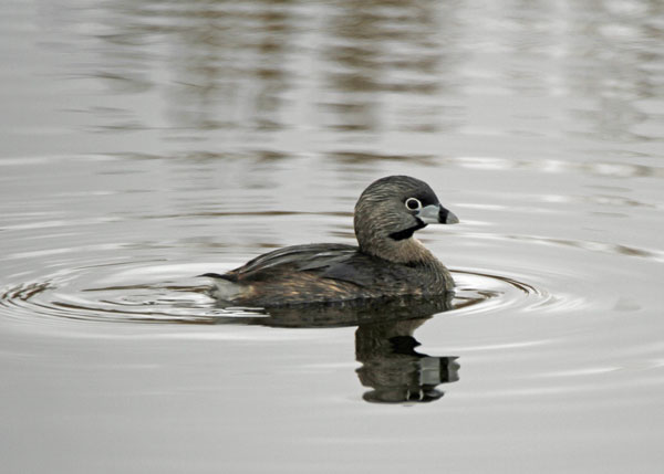 Pied-billed Grebe at the Horicon Marsh