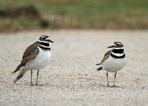 Killdeer at the Horicon Marsh