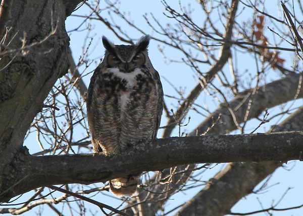 Male Great Horned Owl at the Horicon Marsh