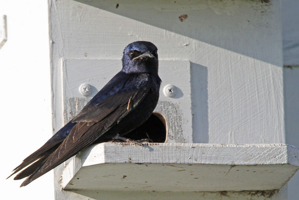 Purple Martin at the Horicon Marsh