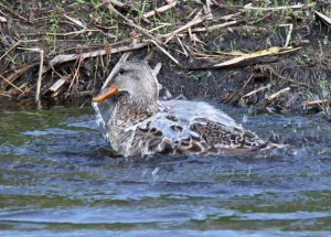 Female Gadwall at the Horicon Marsh