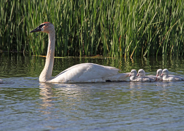 Trumpeter Swans with Cygnets at the Horicon Marsh
