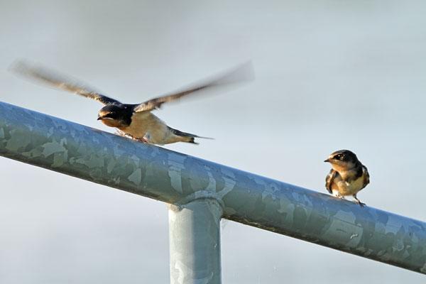 Barn Swallows at the Horicon Marsh