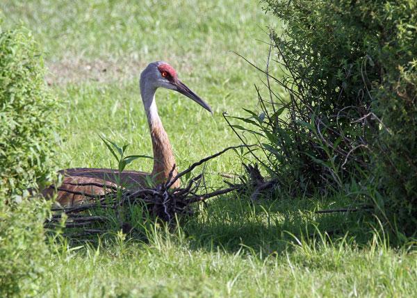 Sandhill Crane at the Horicon Marsh