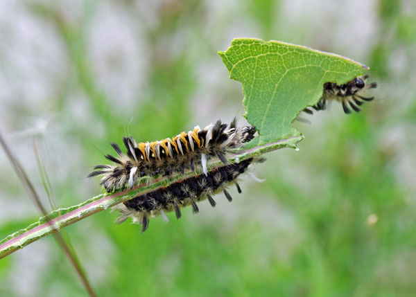 Milkweed Tiger Moth Caterpillar at the Horicon Marsh