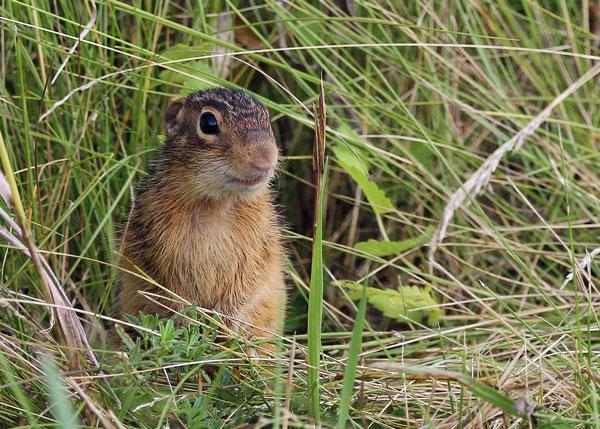 Chipmunk at the Horicon Marsh