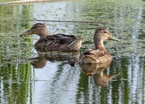 Mottled Ducks at the Horicon Marsh