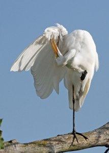 Great Egret Preening at the Horicon Marsh
