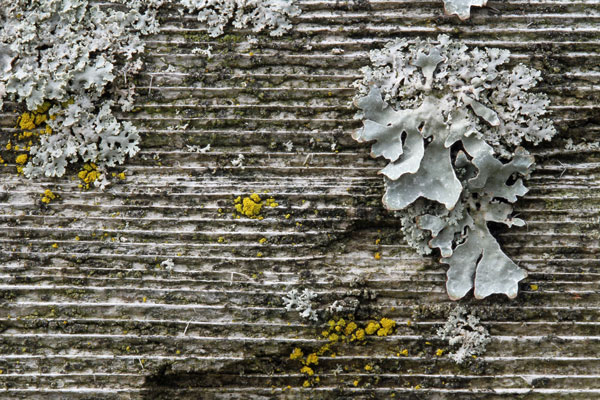 Lichen at the Horicon Marsh