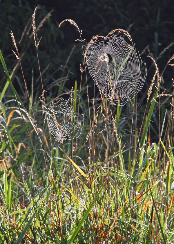Spider Webs at the Horicon Marsh