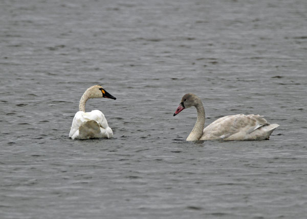 Tundra Swan and Cygnet at the Horicon Marsh