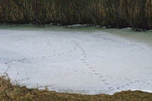 Animal Tracks at the Horicon Marsh