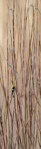 Male (Nonbreeding) American Goldfinch at the Horicon Marsh