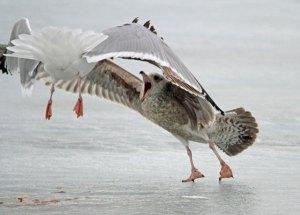 Juvenile Herring Gull at the Horicon Marsh