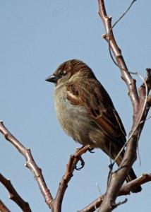 House Sparrow at the Horicon Marsh