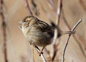 Female House Sparrow at the Horicon Marsh