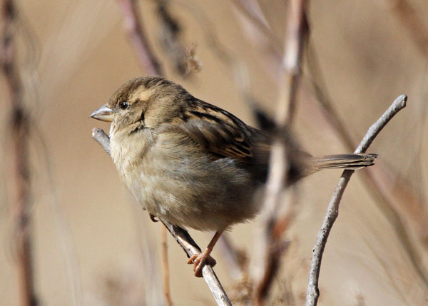 Female House Sparrow at the Horicon Marsh
