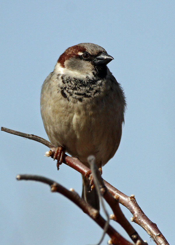 House Sparrow at the Horicon Marsh