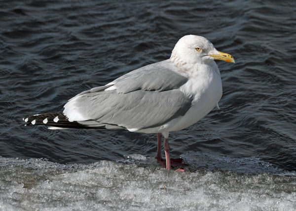 Herring Gull at the Horicon Marsh