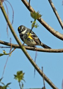 "Yellow-rumped ""Myrtle"" Warbler at the Horicon Marsh"