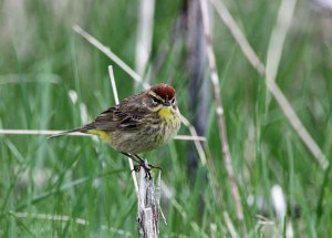 Palm Warbler at the Horicon Marsh