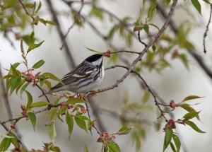 Blackpoll Warbler at the Horicon Marsh