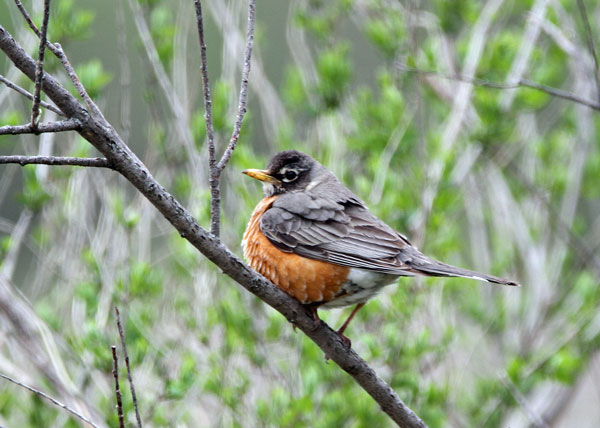 American Robin at the Horicon Marsh