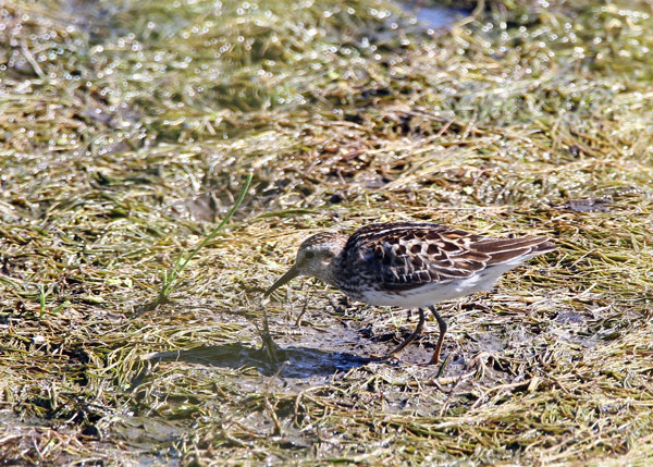 Least Sandpiper at the Horicon Marsh