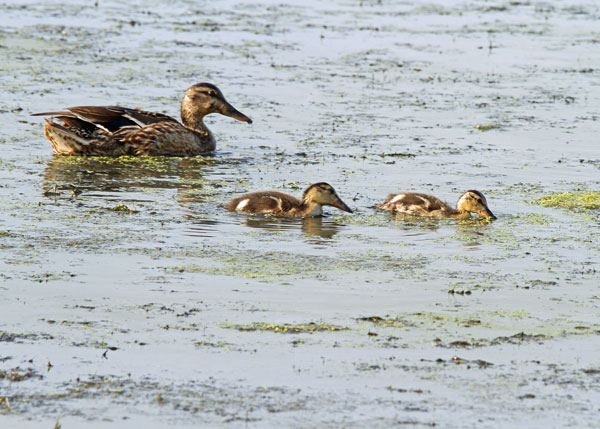 Mallard with Chicks at the Horicon Marsh