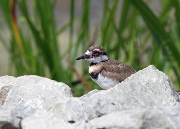 Juvenile Killdeer at the Horicon Marsh