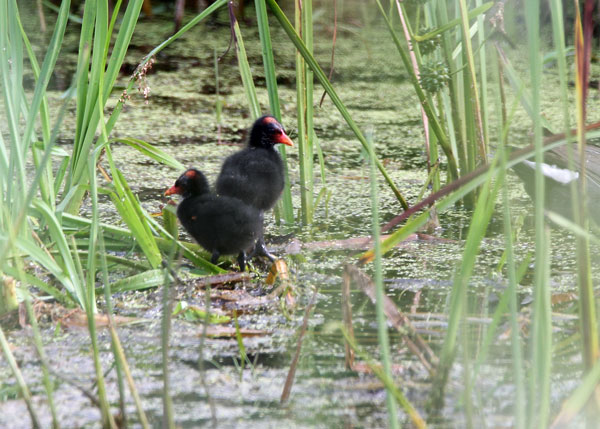 Common Moorhen Chicks at the Horicon Marsh