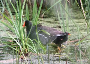 Common Moorhen with Chick at the Horicon Marsh