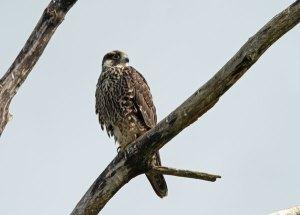 Juvenile Peregrine Falcon at the Horicon Marsh