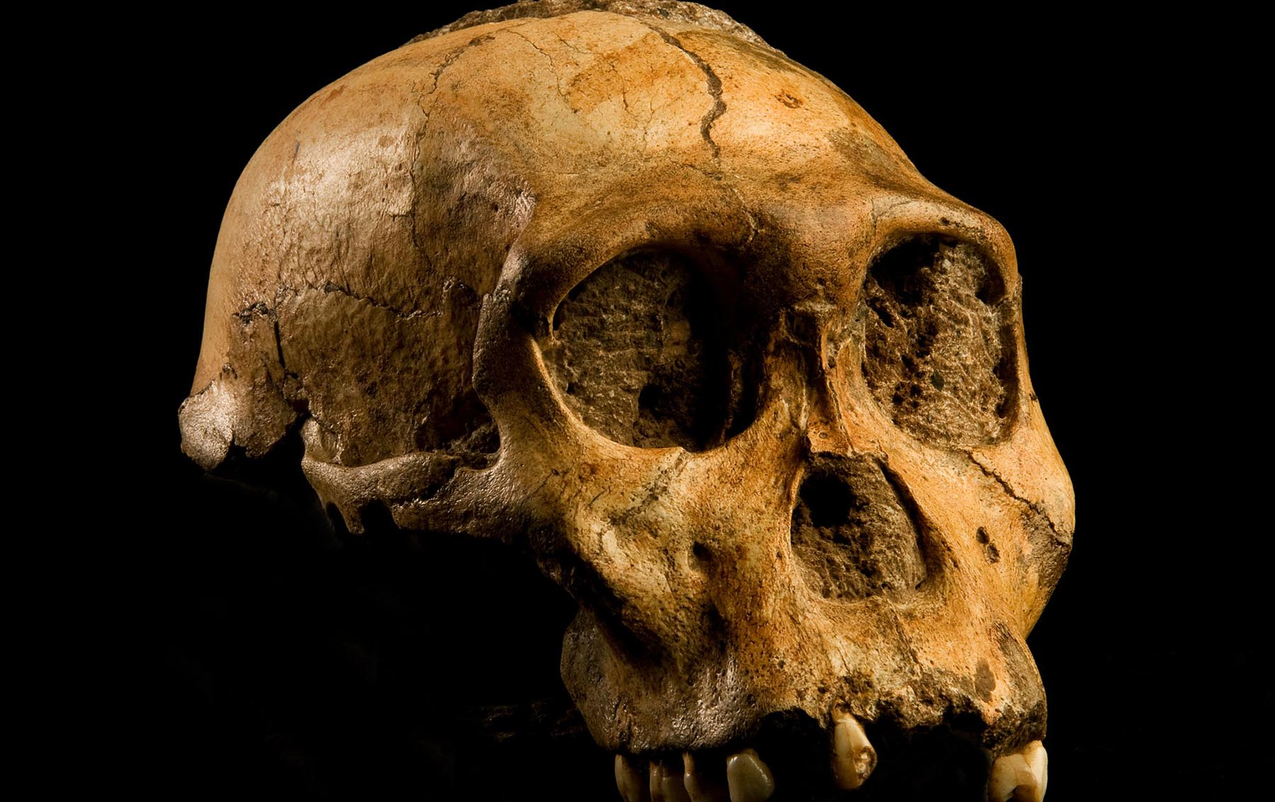 The skull of a Australopithecus sediba, a species of Australopithecines, who were our ancestors and whose brains started to grow two to three million years ago. Image credit - Australopithecus sediba by Brett Eloff, courtesy Profberger and Wits University is licensed under CC BY-SA 4.0