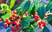 East Palatka Holly