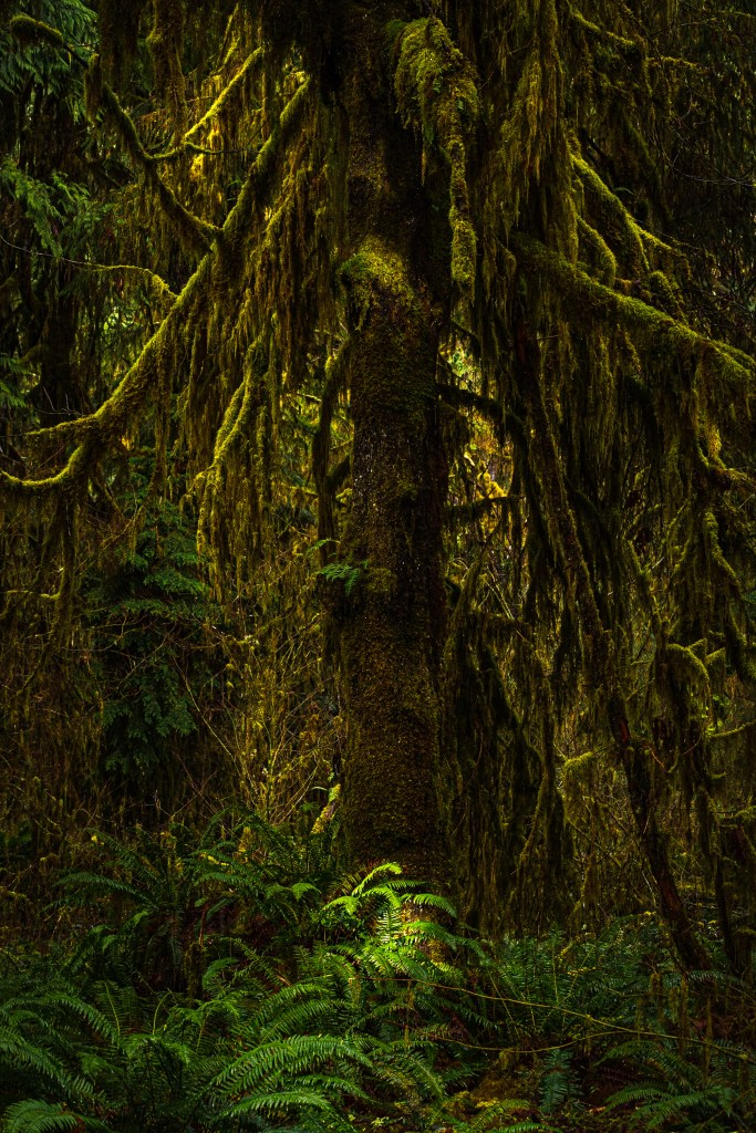 Hoh rainforest in Olympic national Park.