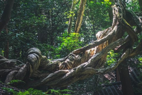 This knotted up tree was just outside of a garden along the Philosopher's Path.