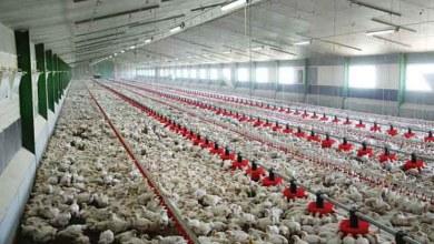 """صورة الفيدرالية البيمهنية لقطاع الدواجن..لم يتم المصادقة مطلقا على شركة """"santé'Vot """" لإنتاج الدجاج تحت علامة """"دجاج المزرعة"""""""