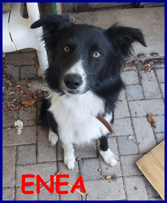 ENEA adozione consapevole cucciolone border collie 1 anno relegato in terrazzo