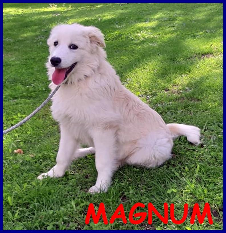 MAGNUM splendido cucciolo 5 mesi pastore maremmano dolce e coccolone