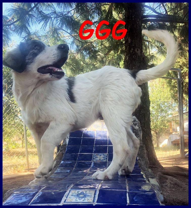 GGG fantastico cucciolo 5 mesi simil pastore maremmano