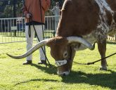 A beautiful sunny almost spring day-Bevo couldn't pass up that new green grass!