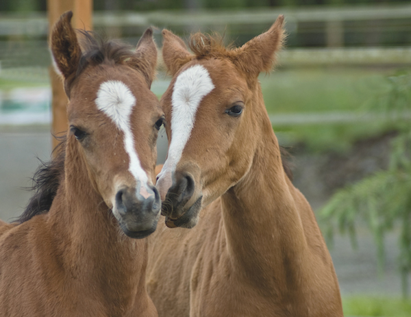 How often do horses have twins?