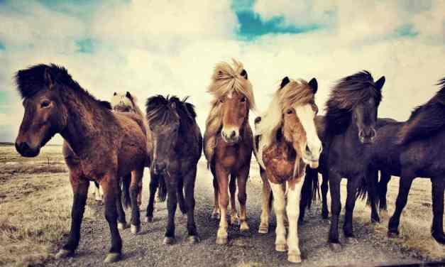 Islandske heste over hele Verden stambogsføres i WorldFengur