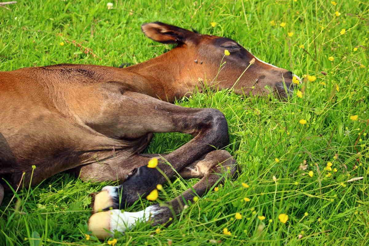 heste drømme