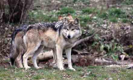 Hest blandt ulve