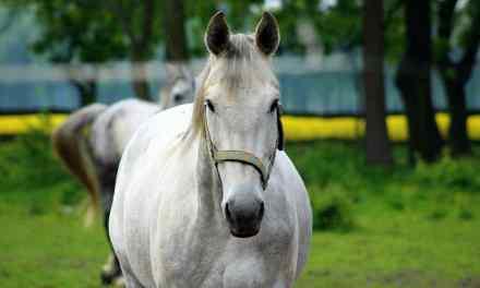 Er en vommet hest en tyk hest?